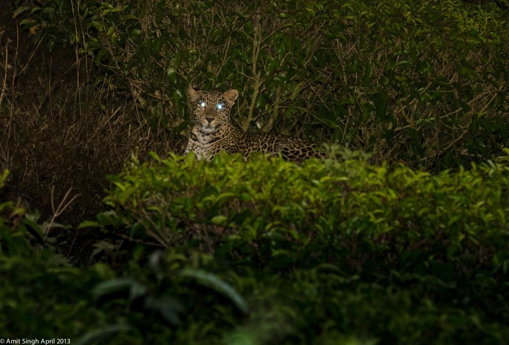 Majestic Leopard (Panthera pardus)